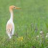 🦜野鳥の回【176】雨でも鳥活・祝!🆕100種類目アマサギ🆕101種類目チュウサギ