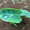 恵の雨&きゅうり、ズッキーニ、なす収穫!!