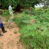 モリンガ種の殻が、土壌改良に有効なことが判明