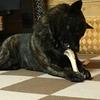 甲斐犬サンの可愛くないおやつ(ヾノ・∀・`)ムリムリ