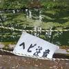 モリアオガエルを食べるヤマカガシを観察する 千葉県の清澄寺