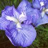 菖蒲と紫陽花の咲き乱れる堀之内妙法寺