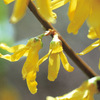 今日の誕生花「レンギョウ」春先に鮮やかな黄色が目立つ花!
