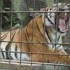 トラ舎の前でウェディング前撮り・東山動物園のクンデが危ない