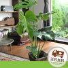 風水でお勧めの観葉植物「モンステラ」 玄関やリビングに!