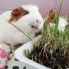 小動物の好物♡生牧草(猫草)も100均で