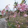 寒緋桜、ツワブキ、枯れ木、タンポポ、リュウキュウコスミレ