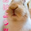 【ミニウサギのサスケ先輩】うさぎのおもちゃでまさかの事態に!?情報共有のおかげで助かった!!!