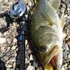 久しぶりの琵琶湖釣行。45cm頭に3匹
