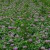 田園探訪~ジャガイモの花も満開です。