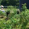 屋上ブルーベリー園の草取り6日目 半そで姿 ノバラ