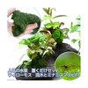 (水草 熱帯魚)人気の水草 置くだけセット ウィローモス 流木とミナミヌマエビ付 北海道航空便要保温 北海道航空便要保温