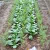 ニンジンの栽培⑤ニンジンとカブの成長(混植)