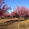 ご近所の公園で梅の花見