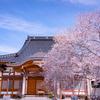 早くも満開の四季桜:黒部の西徳寺