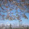 新緑のようなヤマザクラ:森林研究所