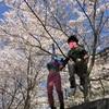 近所の満開の桜でお花見サイクリング