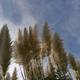 都民の日!神代植物公園は無料入園可能!巨大パンパスグラスを観に行こう!