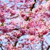 大阪の花見のピークはいつごろ?桜の開花について調べてみた