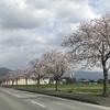 桜並木が満開のこの季節、毎年買い物に行くのが楽しみなのです♪ 3月31日