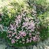 スイス高山の花々