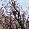 えぃじーちゃんのぶらり旅ブログ~コロナで巣ごもり 北海道石狩市の春編 20210425