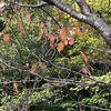 楓蔦黄、なんと美しき日本語かな。