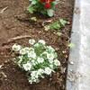 冬のお楽しみ 花の苗を植えました