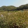 ローゼルハイビスカスの収穫がはじまりました。