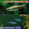 (熱帯魚)グリーンネオンテトラ(10匹) + ナノストムス・ベックホルディ(6匹) 北海道・九州航空便要保温
