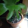 夏*観葉植物が育つ(セローム編)