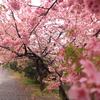 【伊豆半島縦断ドライブ!】4.河津桜と東京ラスク、そして暴風雨の襲来!