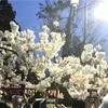 大阪造幣局 桜の通り抜け2017  期間・混雑状況 トイレはどうする?