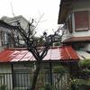 【由無し事】知らなかった桜の木