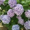 紫陽花 パート2