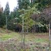 さくらの樹