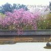 京都市内のお花見スポット② 2019年の見頃は?空いている穴場のスポットは?