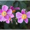 秋明菊の季節 no-2