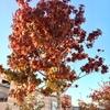 九大学研都市駅前 街路樹の紅葉♪