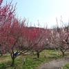 神戸市西区)楽農生活センター、雌岡山梅林。梅はピーク過ぎるも十分にきれい。