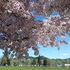 コーンウォールパーク便り 2019年桜が咲きました編