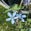夏に向けて、青い花を植えよう