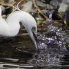 野川の川べりを,野鳥の写真を撮りながら歩いてきた・その2(大きめの鳥と水鳥編)【東京バードウォッチング】