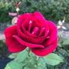 【ライフ】秋薔薇と旧古河庭園