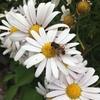 菊花、蜂も訪ねて浮気して(キクwithミツバチ)