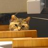 1月後半の #ねこ #cat #猫 どらやきちゃんB