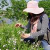 多摩川に生えているハマダイコンは、サヤこそ大根の味がする