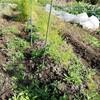 収穫が続いてます。カブに大根、ニンジン、小松菜、ガーデンレタス🥕