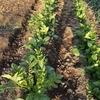 家庭菜園 玉葱・馬鈴薯育成中
