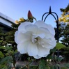 白い花のたくらみ